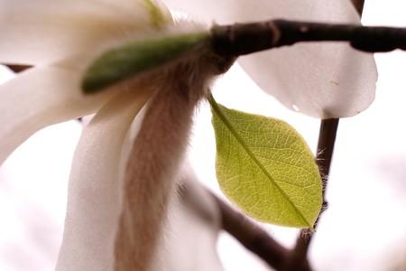 2015.03.16 和泉川 コブシ 鱗片葉