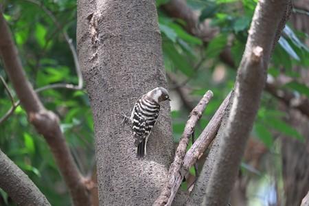 2015.03.23 瀬谷市民の森 コゲラ