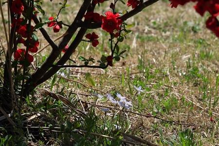 2015.03.24 和泉川 木瓜の下でオオニワゼキショウ