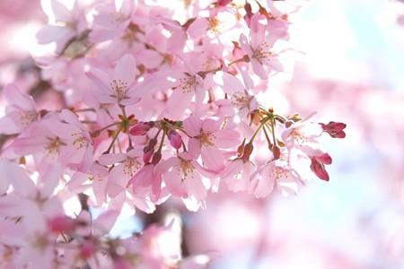 2015.03.30 和泉川 シダレザクラ 満開