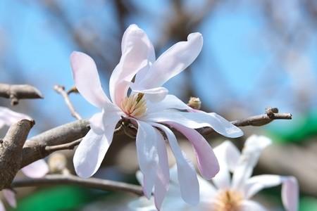2015.03.30 和泉川 シデコブシ