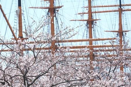 2015.03.31 みなとみらい 日本丸とサクラ