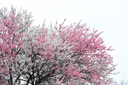 2015.04.04 和泉川 ハナモモ