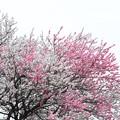 Photos: 2015.04.04 和泉川 ハナモモ