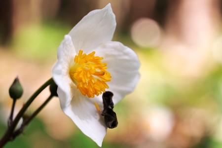 2015.04.16 瀬谷市民の森 シラユキゲシ