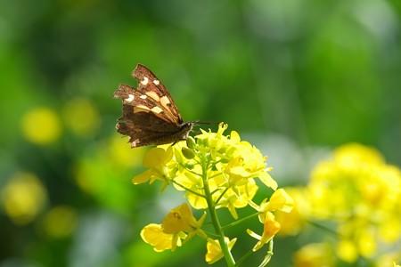 2015.04.16 追分市民の森 菜の花にテングチョウ