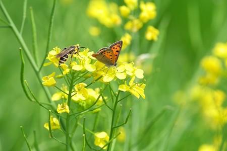2015.04.25 追分市民の森  菜の花にベニシジミとヒメハラナガツチバチ