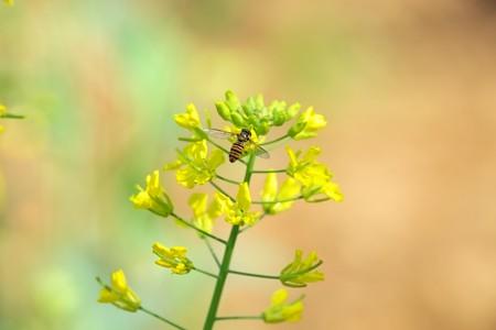 2015.04.27 追分市民の森 菜の花にホソヒラタアブ