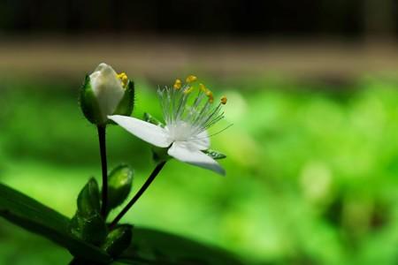 2015.05.20 瀬谷市民の森 トキワツユクサ