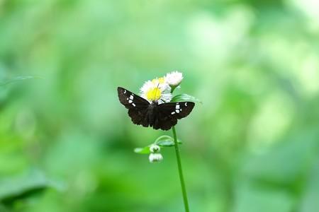 2015.05.20 瀬谷市民の森 ハルジオンにダイミョウセセリ