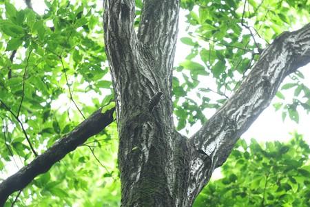 2015.05.22 瀬谷市民の森 コゲラの居る風景