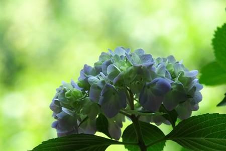 2015.06.01 瀬谷市民の森 アジサイ