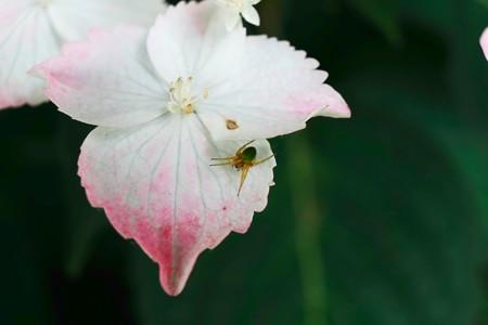 2015.06.05 和泉川 紫陽花にサツマノミダマシ