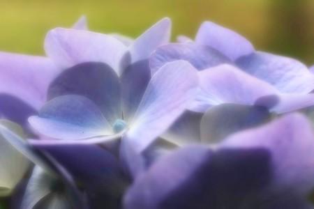 2016.06.06 瀬谷市民の森 アジサイ 紫