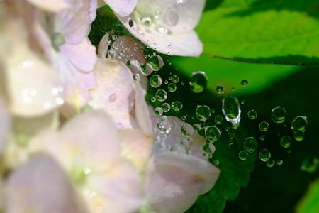2016.06.10 追分市民の森 紫陽花 天の川