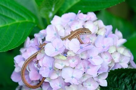 2016.06.12 和泉川 紫陽花にニホンカナヘビ