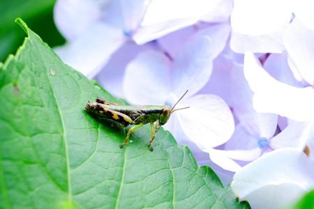 2016.06.27 追分市民の森 紫陽花にフキバッタ