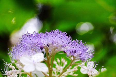 2016.07.23 瀬谷市民の森 タマアジサイ 夏祭り