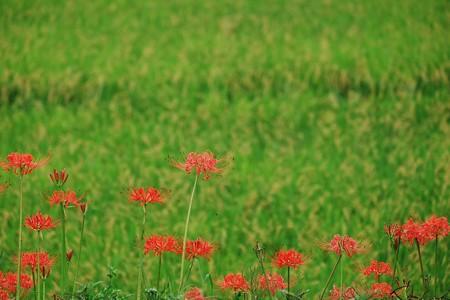 2016.09.24 追分市民の森 ヒガンバナ背景田圃