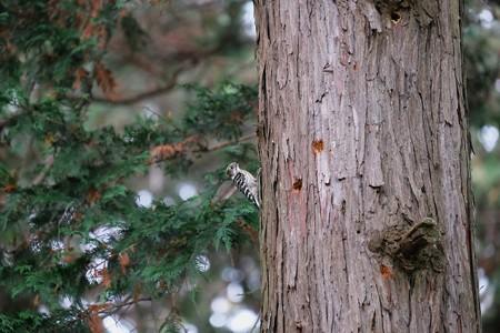 2016.11.23 和泉川 小啄木鳥