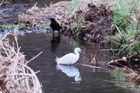 2016.12.26 和泉川 コサギにカラス 白と黒