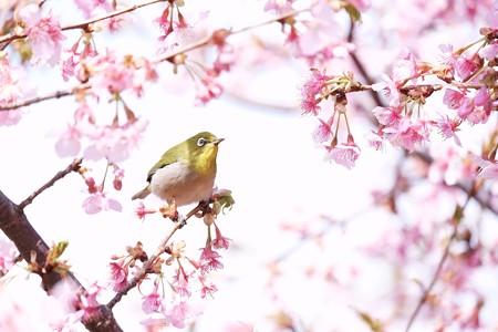2017.02.28 和泉川 河津桜にメジロ 花から花