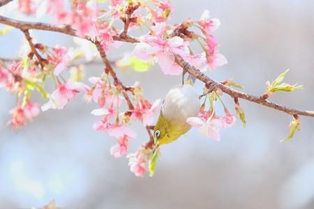 2017.02.28 和泉川 河津桜へメジロ 花蜜
