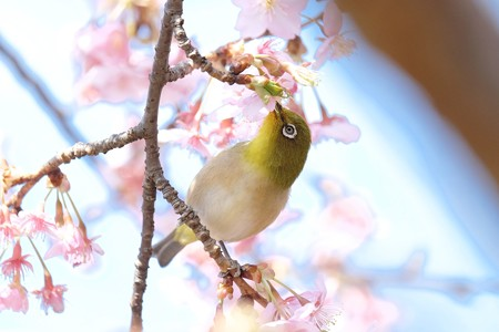 2017.02.28 和泉川 河津桜へメジロ