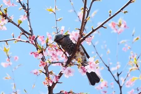 2017.03.03 和泉川 カワズザクラにヒヨドリ