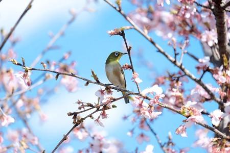 2017.03.03 和泉川 河津桜にメジロ