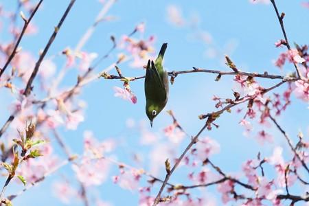 2017.03.03 和泉川 河津桜へメジロ