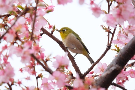 2017.03.04 和泉川 桜開く メジロ