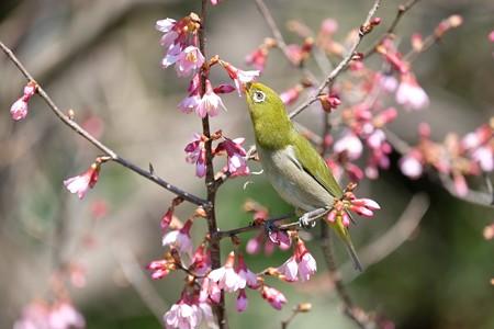 2017.03.09 和泉川 おかめ桜にメジロ