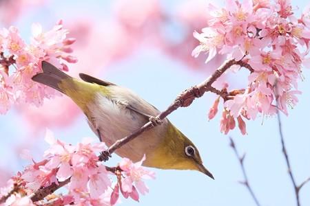 2017.03.12 和泉川 おかめ桜へメジロ 吸蜜