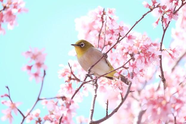 2017.03.18 和泉川 おかめ桜とメジロ