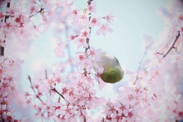 2017.03.18 和泉川 おかめ桜にメジロ 渦