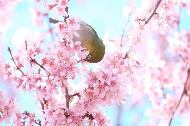 2017.03.18 和泉川 おかめ桜へメジロ 吸蜜