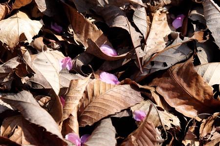 2017.03.28 追分市民の森 栗木の下に花桃 花弁