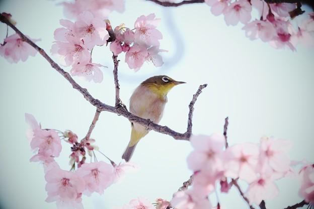 2017.03.30 和泉川 陽光桜にメジロ
