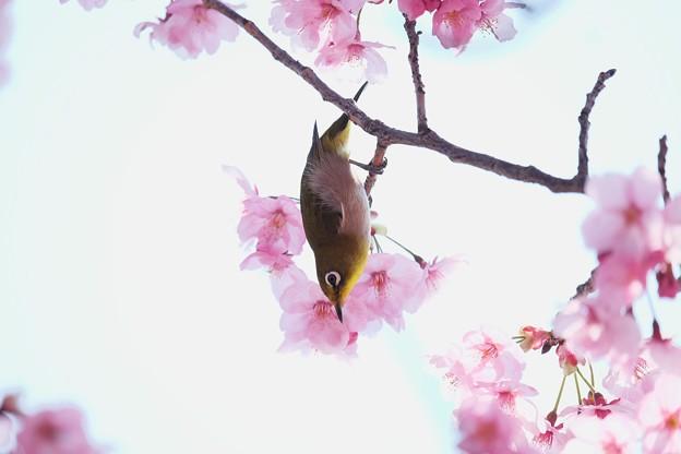 2017.03.30 和泉川 陽光桜へメジロ