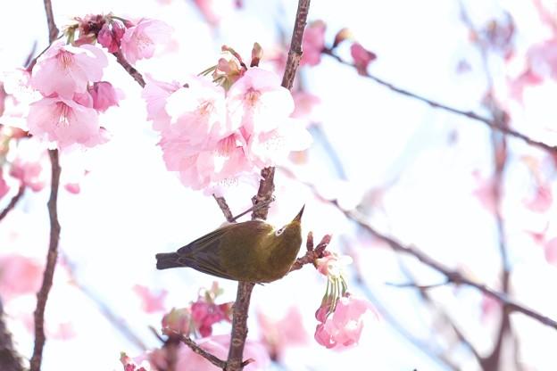 2017.04.04 和泉川 陽光桜へメジロ