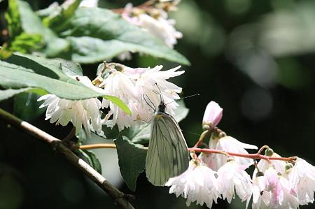 2010.06.16 和泉川 サラサウツギにスジグロシロチョウ