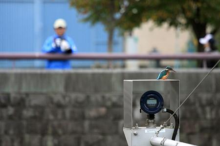 2010.10.02 和泉川 カワセミ デジタル水位計