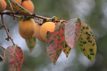 2010.10.14 和泉川 柿