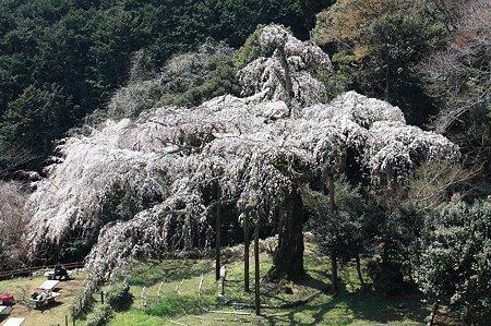 2011.04.06 入生田 長興山紹太寺 枝垂桜 全景