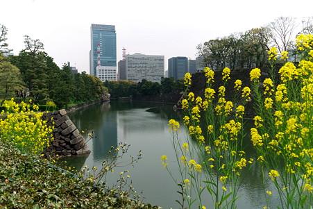 2011.04.11 皇居 平川壕 菜の花