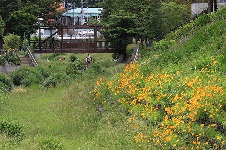 2011.05.31 和泉川 オオキンケイギクの先に園児遊び