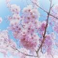 写真: 春先小紅