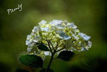 紫陽花・・3