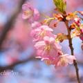 写真: 河津桜咲く三浦海岸-294